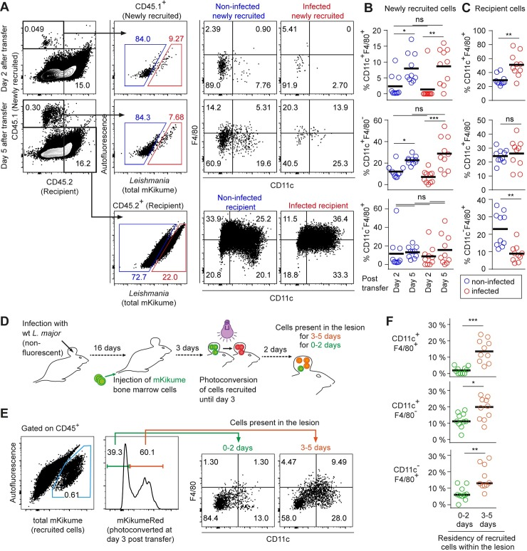L . major infects newly recruited monocyte-derived cells independently of their differentiation stage. (A) Flow cytometry analysis of C57BL/6 (CD45.2) mice infected with Lm SWITCH , adoptively transferred 2 or 5 days before analysis with CD45.1 bone marrow cells. Gating strategy on CD45.1 + (newly recruited) and CD45.2 + (recipient) infected and non-infected cells. (B) Quantification of infected (red) and non-infected (blue) CD11c + F4/80 + double positive (upper panel) and CD11c + F4/80 - single positive (lower panel) among newly recruited cells at day 2 and day 5 post adoptive transfer. (C) Analysis as in (B) for recipient cells. (D) Experimental strategy to identify newly recruited cells present for 0–2 versus 3–5 days post adoptive transfer. Mice infected with non-fluorescent L . major wild type received mKikume-expressing bone marrow cells 5 days prior to analysis. Photoconversion at 3 days post transfer identifies cells recruited to the site of infection until day 3 in mKikume red fluorescence, while cells recruited after photoconversion (0–2 days prior to analysis) exhibit green mKikume fluorescence. (E) After gating on CD45 + cells, all adoptively transferred cells are identified by total mKikume fluorescence. Transferred cells which were at the infection site since 0–2 days (showing no red fluorescence) can be clearly distinguished from cells that were recruited to the site of infection 3–5 days before analysis (and thus photoconverted, showing a high red fluorescence). The two populations were analyzed for CD11c and F4/80 expression. (F) Quantitative analysis of CD11c + F4/80 + double positive (upper panel) and CD11c + F4/80 - single positive (lower panel) present at the site of infection for 0–2 days (green) and 3–5 days (red), respectively. Each dot represents one mouse ear. Horizontal bars denote the mean. *p