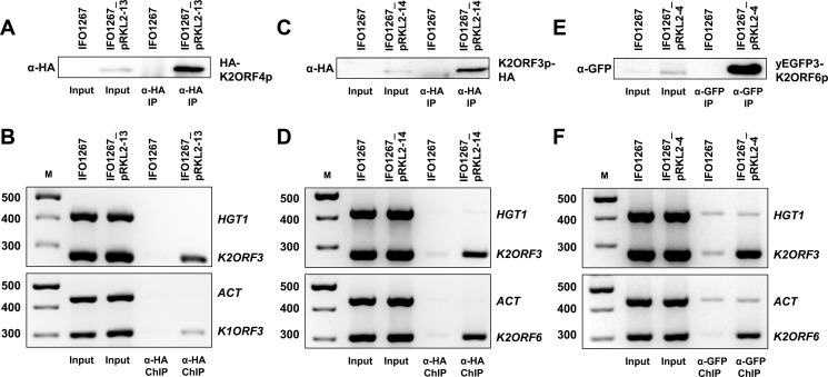 Physical association of the putative helicase (K2ORF4p), mRNA capping enzyme (K2ORF3p), and the large RNAP subunit (K2ORF6p) of the yeast VLEs with VLE-specific DNA. (A) Western blot of HA-K2ORF4p that was affinity-purified from lysates of IFO1267_pRKL2-13 (HA-K2ORF4p) and IFO1267 (control) cells. The strains used are indicated above the lanes. The antibody used is indicated on the left hand side of the strip. The protein detected is indicated on the right hand side of the strip. (B) PCR analysis of the presence of chromosomal ( ACT , HGT1 ) or VLE ( K1ORF3 , K2ORF3 ) DNA in chromatin immunoprecipitated using anti-HA HA-7 agarose from IFO1267_pRKL2-13 (HA-K2ORF4p) and IFO1267 (control) cells. Samples of individually performed gene-specific PCRs were analysed in 2.5% agarose gel stained with ethidium bromide. The identity of the bands (genes) is indicated on the right. M, DNA molecular mass marker (GeneRuler 100 bp Plus DNA Ladder, Fermentas). The respective values are indicated on the left. (C) Western blot of K2ORF3p-HA that was affinity-purified from lysates of IFO1267_pRKL2-14 (K2ORF3p-HA) and IFO1267 (control) cells. (D) PCR analysis of the presence of chromosomal ( ACT , HGT1 ) or VLE ( K2ORF3 , K2ORF6 ) DNA in chromatin immunoprecipitated using anti-HA HA-7 agarose from IFO1267_pRKL2-14 and IFO1267 cells. (E) Western blot of yEGFP3-K2ORF6p that was affinity-purified from lysates of IFO1267_pRKL2-4 (yEGFP3-K2ORF6p) and IFO1267 (control) cells. (F) PCR analysis of the presence of chromosomal ( ACT , HGT1 ) or VLE ( K2ORF3 , K2ORF6 ) DNA in chromatin immunoprecipitated using GFP-Trap agarose beads from IFO1267_pRKL2-4 and IFO1267 cells.