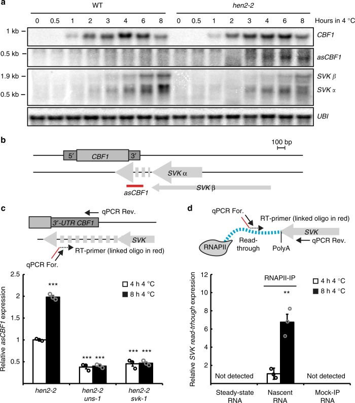 SVALKA transcription mediates transcription activity antisense to CBF1 . a Representative Northern blot of a cold exposure time series of Col-0 (WT) and hen2-2 . The probe used for asCBF1 is shown in b . Blots were repeated with three biological replicates with similar results. UBI is used as loading control. Uncropped blots can be found in the Source Data file. b Graphical representation of the CBF1-SVK genomic region. The probe for asCBF1 is shown in red. RT was done with an oligo-linked primer to ensure strand-specificity and generated cDNA was used in c . c RT-qPCR of asCBF1 after cold exposure in hen2-2 and the double mutants, hen2-2uns-1, and hen2-2svk-1 . The RT-primer and the qPCR primers are shown in the graphical representation above the graph. Bars represent mean (white: 4 h 4 °C, black: 8 h 4 °C, ±SEM) from three biological replicates (rings). The relative level of asCBF1 was normalized to the level in hen2-2 after 4 h of 4 °C. Statistically significant differences were determined with Student's t -test (*** p