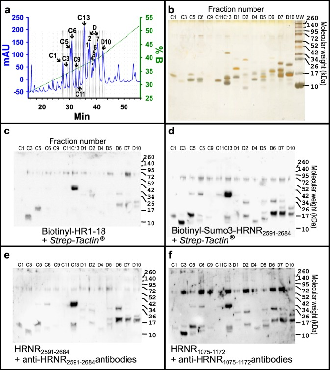 Distinct HRNR-derived CIDAMPs show similar ribosomal protein binding patterns. ( a ) SulfoLink®–column-bound proteins of an E . coli -extract were separated on a Jupiter® <t>C18</t> <t>RP-HPLC</t> column with a Prp-gradient. HPLC fractions containing UV-absorbing peaks (C1–D10) were divided into five aliquots and adjusted in parallel to five PAGE-gels and separated. ( b ) Silver-stained proteins. ( c ) HRNR-Far-Western blot for probing with biotinylated HR1-18 (HRNR 2556–2677 ) using Strep - Tactin ®, ( d ) HRNR-Far-Western blot for probing with biotinylated rSumo3-HRNR 2591–2684 using Strep - Tactin ®, ( e ) HRNR-Far-Western blot for probing with rHRNR 2591–2684 using anti-HRNR 2591–2684 antibodies, ( f ) HRNR-Far-Western blot for probing with rHRNR 1075–1172 using anti-HRNR 1075–1172 antibodies. Note similarities of the staining patterns, irrespective the CIDAMP AA-sequence or biotin-labeling and irrespective whether a Strep - Tactin ®- or antibody-detectable CIDAMP was used to probe and detect the target protein on the membrane. Note the presence of 70 kDa bands upon HRNR-Far-Western blot analyses in most of the investigated HPLC fractions with highest intensity for rHRNR 1075–1172 binding ( f ). The most intensive band, corresponding to a 37 kDa protein in fraction number C13, was identified as E . coli ribosomal protein L2.