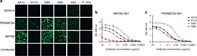 Human ZIKV specific-antibodies bind to both MR766 and PRVABC59 NS1 proteins. a Vero cells were infected with the indicated viruses at an MOI of 1 for 24 h. The cells were fixed with 0.5% paraformaldehyde and blocked with 5% non-fat milk. MAbs AA12, FC12, EB9, and GB5 were used at a concentration of 5 μg per mL and an anti-human antibody conjugated to Alexa Fluor 488 was used as a secondary antibody. The murine pan-flavivirus mAb 4G2 was used as a positive control and an anti-mouse antibody conjugated to Alexa Fluor 488 was used as a secondary antibody. Cells stained with mAb 4G2 were fixed and permeabilized using 80% acetone. b , c ELISA assays were performed using recombinant NS1 protein from either MR766 or PRVABC59 viruses to assess the binding activity of mAbs AA12, FC12, EB9, and GB5. ELISAs were performed in duplicates. Data plotted represent mean values and the standard error of the mean (SEM); a non-linear regression line was generated using GraphPad Prism 5. Scale = 100 µm
