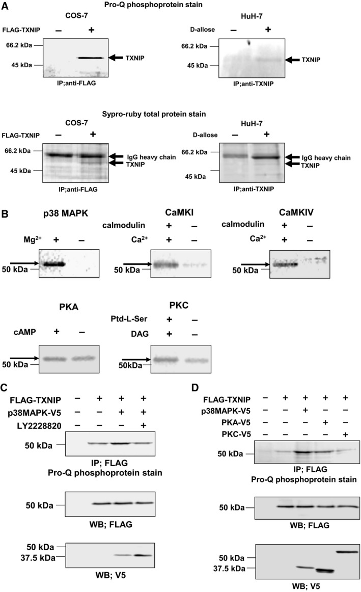TXNIP is phosphorylated by p38 MAPK. (A) Phosphorylation of TXNIP in COS‐7 cells and HuH‐7 cells. COS‐7 cells were transfected with expression plasmid for FLAG–TXNIP, and cell lysate was immunoprecipitated with anti‐FLAG agarose gel. HuH‐7 cells were treated with 50 m m d ‐allose for 48 h, and cell lysate was immunoprecipitated with anti‐TXNIP/protein G, and separated by SDS/PAGE. The phosphorylation of TXNIP was detected by Pro‐Q phosphoprotein gel stain. (B) In vitro phosphorylation analysis of TXNIP by autoradiography. Affinity‐purified FLAG–TXNIP protein was incubated in the presence of each kinase and γ‐[ 32 P]ATP, and phosphorylated TXNIP was detected. (C) Phosphorylation of TXNIP by p38 MAPK in COS‐7 cells. COS‐7 cells were transfected with expression plasmid for FLAG–TXNIP and p38 MAPK–V5. Cells were pretreated with LY2228820 (500 n m ; 2 h) as indicated. The phosphorylation of TXNIP was analyzed by immunoprecipitation followed by the Pro‐Q phosphoprotein gel stain. (D) Phosphorylation of TXNIP by kinases in COS‐7 cells. COS‐7 cells were cotransfected with expression plasmids for FLAG–TXNIP and each V5‐tagged kinase. The phosphorylation of TXNIP was analyzed by immunoprecipitation followed by Pro‐Q phosphoprotein gel stain.