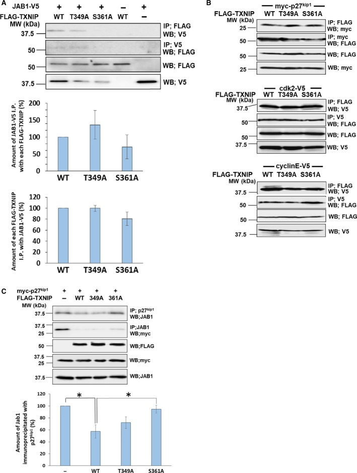 TXNIP phosphorylation at Ser361 promotes the interaction with JAB1. (A, B) COS‐7 cells were cotransfected by expression plasmids for FLAG–TXNIP (wild‐type (WT), FLAG–T349A or FLAG–S361A) and JAB1–V5 (A), myc‐p27 kip1 , Cdk2–V5, or cyclin E–V5 (B), as indicated. Protein complex was immunoprecipitated by anti‐V5, anti‐myc or anti‐FLAG agarose, and the protein interaction was analyzed by western blot analysis. Error bars in the graphs indicate mean ± SD. (C) COS‐7 cells were cotransfected by expression plasmids for myc‐p27 kip1 and FLAG–TXNIP (wild‐type, FLAG–T349A or FLAG–S361A). Protein complex was immunoprecipitated by different types of antibodies as indicated in the figure. Western blot analysis was used to analyze the interaction of p27 kip1 and JAB1. Signal densities of JAB1 immunoprecipitated with p27 kip1 were analyzed. For each value, difference from the control (without TXNIP transfection) was calculated and expressed as mean ± SD (* P