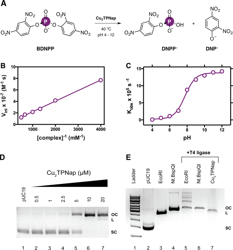 ( A ) BDNPP hydrolytic cleavage mechanism in the presence of Cu 2 TPNap; ( B ) Lineweaver–Burk plot; ( C ) rate-pH profile for the cleavage of BDNPP in the presence of Cu 2 TPNap at 40°C; ( D ) DNA cleavage reactions by Cu 2 TPNap on pUC19 plasmid DNA over 1 h at 37°C in the absence of added reductant; and ( E ) T4 DNA ligase experiments with Cu 2 TPNap and restriction enzymes EcoRI and Nt.BspQI.