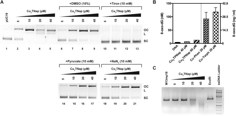 ( A ) Cu 2 TPNap DNA cleavage experiments in the absence (lane 2–5) and presence of free radical antioxidants including DMSO ( • OH, lane 6–9), tiron (O 2 •− , lane 10–13), pyruvate (H 2 O 2 , lane 14–17) and sodium azide ( 1 O 2 , lane 18–21); ( B ) quantification of 8-oxo-dG lesions in pUC19 treated with 40 and 60 μM of Cu 2 TPNap for 4 h at 37°C and compared directly to Cu-Phen and Cu-Terph (reported elsewhere, ( 44 )) and ( C ) M13mp18 single stranded plasmid DNA incubated with increasing concentrations of Cu 2 TPNap for 30 min at 37°C in the absence of added oxidant or reductant.