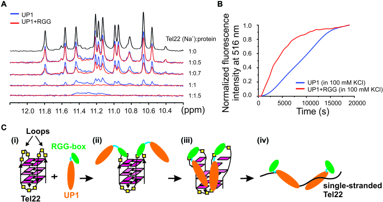 Telomere DNA G-quadruplex unfolding by UP1+RGG and UP1 monitored using NMR and fluorescence spectroscopy. ( A ) 1D 1 H NMR spectra of Na + form of Tel22 showing gradual loss of imino proton peaks upon titration with increasing concentrations of UP1 (blue) and UP1+RGG (red). ( B ) Unfolding of the 5′-FAM and 3′-TAMRA labeled K + form of Tel22 DNA G-quadruplex (5′FAM-Tel22-TAMRA3′) by UP1 (blue) and UP1+RGG (red) monitored by observing the emission of FAM at 516 nM. 5′FAM-Tel22-TAMRA3′ DNA was mixed with 4 molar equivalents of UP1 or UP1+RGG and the emission spectrum was recorded over a time period. ( C ) Proposed model for RGG-box assisted recognition and unfolding of telomere DNA G-quadruplex unfolding by UP1+RGG.