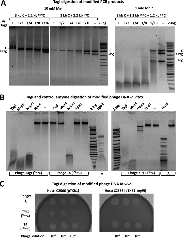 TagI activity assays on (A) 5hm C and 5m C containing PCR products and (B,C) modified phage DNA in vitro and in vivo . ( A ) One μg of mixed PCR DNA (∼12 nM) made from modified dNTP mixtures was digested at 37°C for 1 h with 1 μg TagI (∼0.3 μM) in 2-fold serial dilutions in NEB buffer 2.1. The substrates for TagI digestion in 10 mM Mg 2+ contained C (3 kb) and 5hm C or 5m C (2.2 kb). The assay in 1 mM Mn 2+ was performed on C (3 kb), 5hm C (2.2 kb) and 5m C (1.2 kb) containing PCR DNA. The amount of TagI (μg) shown on top of each lane corresponds to 295, 147, 74, 37, and 18 nM of protein dimer, respectively. ( B ) Modified DNA from phage T4gt ( 5hm C, ∼0.2 nM), T4 ( g5hm C, ∼0.2 nM) or XP12 ( 5m C, 0.5 nM) was digested by TagI (∼0.3 μM) and control enzymes: tolerant to the presence of modified cytosines (MluCI (/AATT), 10 U), inhibited by cytosine modifications (HpaII (C/CGG), 10 U) and affected only by the presence of g5hm C (MspJI, 5U). ( C ) Late-log phase host cells were plated on soft agar to form a cell lawn, and diluted phages (Lambda, T4gt or T4) were spotted onto the cell lawns. Cell lysis and plaque formation indicated susceptibility to phage infection. No plaque formation indicated the restriction of T4gt phage by TagI expressing cells.
