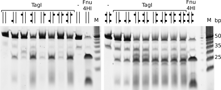 Efficacy of DNA TagI cleavage of substrates containing none to four 5m C bases. 20 ng (∼32 nM) of annealed 48-mer oligonucleotides were digested by TagI (0.125 μg, ∼92 nM of TagI dimer) in NEB buffer 2.1 for 30 min. Cleavage products were resolved in 15% urea-PAGE, stained by SYBR Gold and imaged on Typhoon imager. The predicted TagI cleavage site GCS/GC at the center of the duplexes conforms to the GC/NGC consensus for cleavage by Fnu4HI (20 U), which was used as a positive control. 5m Cs in oligoduplexes are represented by small black dots in the diagrams above each lane.