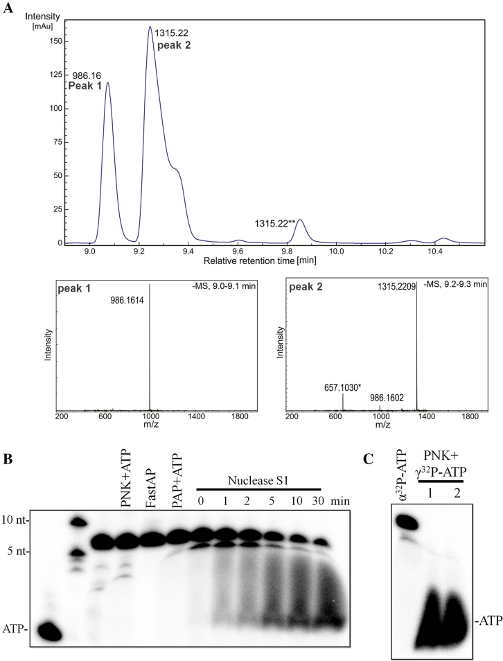 Identification of the Cmr-α-mediated ATP reaction products. ( A ) Liquid chromatography (upper panel) and mass spectrometry (two lower panels) analysis of the ATP reaction products by Cmr-α; *: the peak showing a MW of 657.10 in the MS analysis was also present in the reference sample; **: peak 3 with a MW of 1315.22 could be the tail of the main peak. ( B ) The ATP reaction product (∼40 nM) was treated with 1 U/μl PNK, 0.05 U/μl poly(A) polymerase (PAP), 0.1 U/μl alkaline phosphatase (FastAP) and 0.2 U/μl Nuclease S1, respectively, followed by analysis of denaturing gel electrophoresis. The reactions with PNK, PAP and FastAP were incubated at 37°C for 60 min and the S1 nuclease incubation time was indicated above the gel. If applicable, 1 mM ATP was supplemented into the reaction mixture. ( C ) The fractions of the peaks from Figure 2A (1: peak 1; 2: peak 2) were labeled with γ 32 P-ATP by PNK. The ATP reaction product generated with α 32 P-ATP was also loaded as size marker (the first lane).