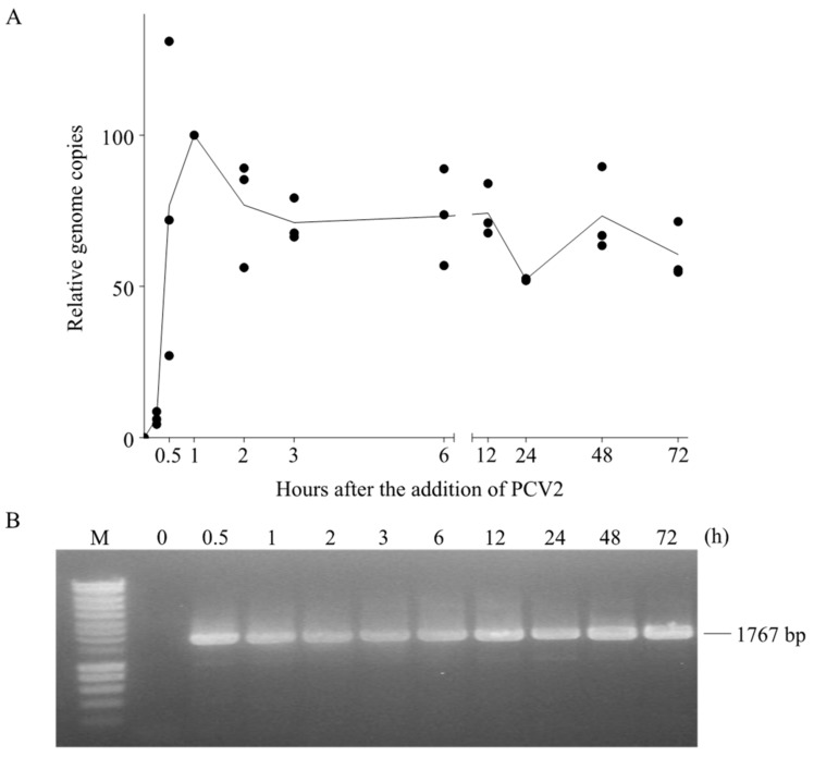Fate of the PCV2 genome in blood monocytes. PCV2 was added to monocytes and samples were collected at different time points after virus addition. Afterwards, cells were subjected to DNA extraction. ( A ) The number of PCV2 genome copies at each time point was quantified by qPCR and expressed as a relative percentage to that at 1 h; ( B ) The agarose gel electrophoresis image of PCR amplification results of the full-length PCV2 genome at each time point. The PCR was performed with the primer set wgPCV2-fw/rev which amplifies the full length of PCV2 genome. Data were obtained from three individual pigs (hybrid Piétrain × Hypor Libra).