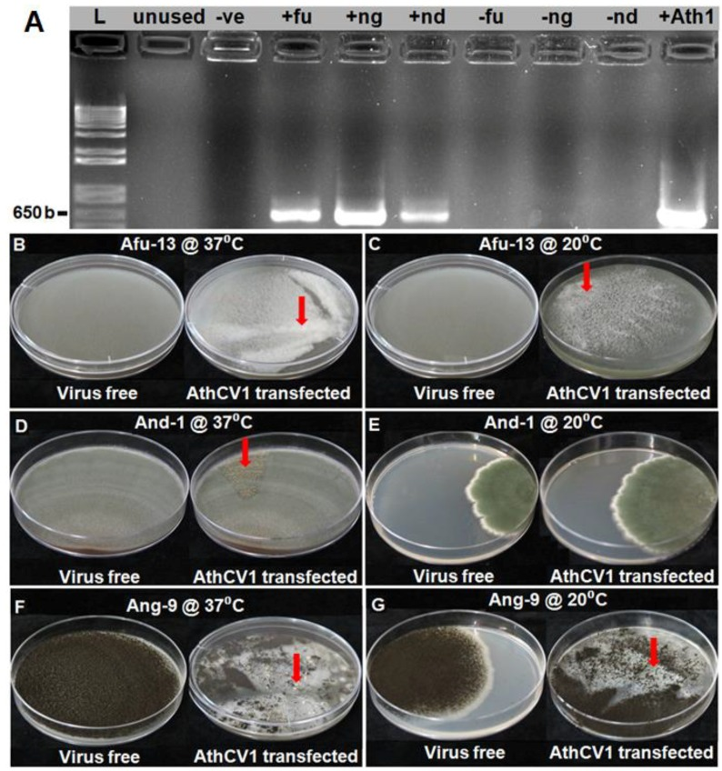 Effects of AthCV1 infection on the colony morphology of Aspergillus species. ( A ) polymerase chain reaction (PCR) assay showing successful AthCV1 transfection to different virus-free Aspergillus species; reverse transcription PCR, lane L = 1 kb plus DNA ladder; -Ve= PCR negative control (RNA sample was replaced with ultrapure water), +Ath1 = AthCV1 +ve control; +fu = AthCV1 transfected A. fumigatus (Afu-13); +ng = AthCV1 transfected A. niger (Ang-9); +nd = AthCV1 transfected A. nidulans (And-1); –fu, –ng and –nd = original virus-free isolates of A. fumigatus (Afu-13), A. niger (Ang-9) and A. nidulans (And-1), respectively. ( B ) Afu-13 grown at 37 °C; normal growth in the virus-free isolate, sectors formed in isogenic AthCV1-transfected line (arrow). ( C ) Afu-13 grown at 20 °C; normal growth in the virus-free isolate, sectors formed in isogenic AthCV1-transfected line (arrow). ( D ) And-1 grown at 37 °C; normal growth in the virus-free isolate, ascospore-rich sectors formed in isogenic AthCV1-transfected line (arrow). ( E ) And-1 grown at 37 °C; normal growth in both virus-free and AthCV1-transfected lines. ( F ) Ang-9 grown at 37 °C; normal growth in the virus-free isolate, conidial-free sectors with sclerotia formed (arrow) in AthCV1-transfected line. ( G ) Ang-9 grown at 20 °C; normal growth in the virus-free isolate, conidial- and sclerotia-free sectors in AthCV1-transfected line (arrow).
