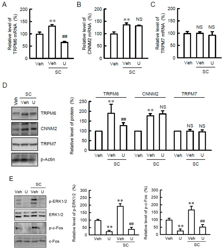 Inhibition of SC-induced TRPM6 expression by U0126. ( A – C ) NRK-52E cells were incubated with vehicle (veh), 10 μM SC, or 10 μM U0126 (U) for 24 h. Quantitative real-time PCR was performed using primer pairs of TRPM6, CNNM2, TRPM7, and β-actin. The contents of TRPM6, CNNM2, and TRPM7 mRNAs were represented as fold-increase over vehicle. ( D ) Cells were incubated with vehicle (veh), 10 μM SC, or 10 μM U0126 (U) for 24 h. Cytoplasmic extracts were immunoblotted with anti-TRPM6, anti-CNNM2, anti-TRPM7, or anti-β-actin antibody. The expression levels were represented relative to the values in vehicle. ( E ) Cells were incubated with vehicle (veh), 10 μM SC, or 10 μM U0126 (U) for 15 min. Cytoplasmic extracts were immunoblotted with anti-p-ERK1/2, anti-ERK1/2, <t>anti-p-c-Fos,</t> or <t>anti-c-Fos</t> antibody. The expression levels were represented relative to the values in veh. n = 4. ** p