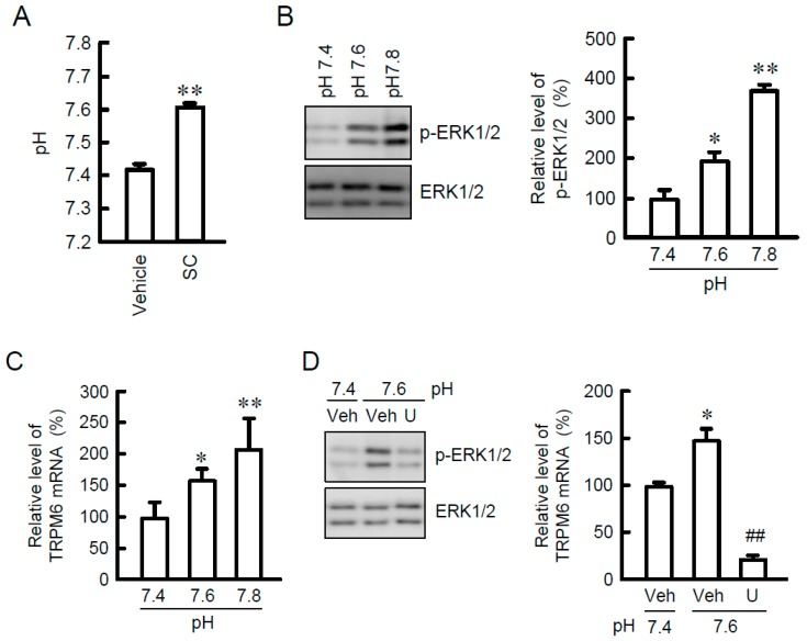 Increase in TRPM6 and p-ERK1/2 expression by SC. ( A ) The pH of culture medium was measured using a pH meter. ( B ) NRK-52E cells were incubated in the medium of indicated pH for 15 min. Cytoplasmic extracts were immunoblotted with anti-p-ERK1/2 or anti-ERK1/2 antibody. The expression levels were represented relative to the values at pH 7.4. ( C ) Cells were incubated in the medium of indicated pH for 24 h. Quantitative real-time PCR was performed using primer pairs of TRPM6 and β-actin. The contents of TRPM6 mRNA were represented as fold-increase over vehicle. ( D ) Cells were incubated in the medium of indicated pH for 15 min in the absence (veh) or presence of 10 μM U0126 (U). Cytoplasmic extracts were immunoblotted with anti-p-ERK1/2 or anti-ERK1/2 antibody. The expression levels were represented relative to the values at pH 7.4. n = 4. ** p