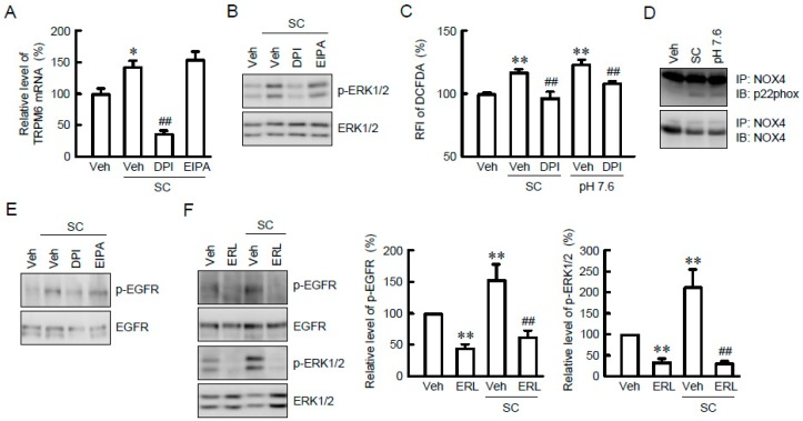 Activation of nicotinamide adenine dinucleotide phosphate (NADPH) oxidase and epidermal growth factor receptor (EGFR) by SC. ( A ) NRK-52E cells were incubated with vehicle (veh), 10 μM SC, 10 μM diphenyleneiodonium (DPI), or 10 μM 5-( N -ethyl- N -isopropyl) amiloride (EIPA) for 24 h. Quantitative real-time PCR was performed using primer pairs of TRPM6 and β-actin. ( B ) Cells were incubated with vehicle (vih), 10 μM SC, 10 μM DPI, or 10 μM EIPA for 15 min. Cytoplasmic extracts were immunoblotted with anti-p-ERK1/2 or anti-ERK1/2 antibody. ( C ) Cells were incubated with vehicle (veh), 10 μM SC, 10 μM DPI, or pH 7.6 for 15 min. ROS production was assessed by 2′,7′-dichlorofluorescin diacetate (DCFDA) fluorescence measurement and represented as a percentage of vehicle. ( D ) Cells were incubated with vehicle (veh), 10 μM SC or pH 7.6 for 15 min. Cytoplasmic extracts were immunoprecipitated with anti-NADPH oxidase (NOX) 4 antibody. After sodium dodecyl sulfate-polyacrylamide gel electrophoresis (SDS-PAGE), the membrane was blotted with <t>anti-p22phox</t> or anti-NOX4 antibody. ( E , F ) Cells were incubated with vehicle (veh), 10 μM SC, 10 μM DPI, 10 μM EIPA, or 10 μM erlotinib (ERL) for 15 min. Cytoplasmic extracts were immunoblotted with anti-p-EGFR, anti-EGFR, anti-p-ERK1/2, or anti-ERK1/2 antibody. The expression levels were represented relative to the values in vehicle. n = 3–4. ** p