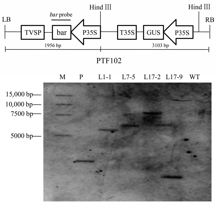 Southern blot analysis of T1 transgenic plants. Plasmid and genomic DNA were digested with HindIII, and hybridized with the bar probe labeled with DIG. M: marker; P: plasmid DNA of pWMB123; L1-1: DNA from T1 plant with bar + from transgenic line 1; L7-5: DNA from T1 plant with bar + from transgenic line 7; L17-2 and L17-9: DNA from T1 plant with bar + from transgenic line 17. WT: DNA from nontransgenic plants.