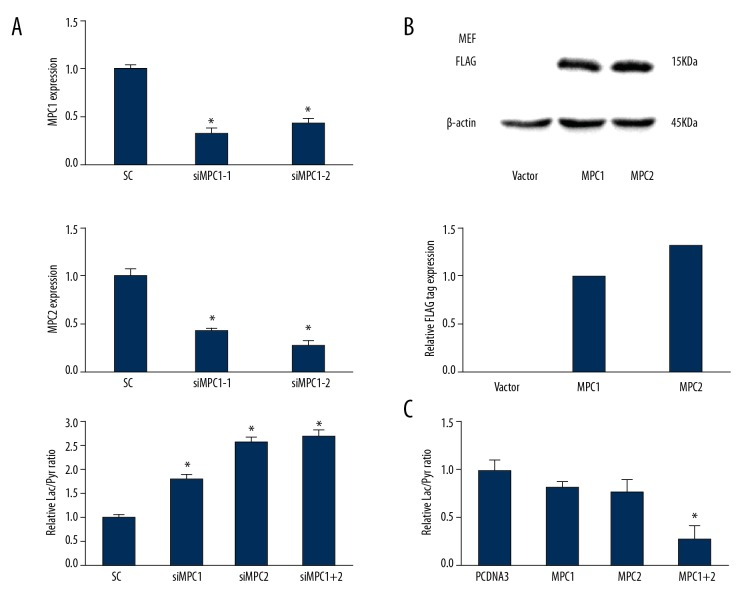 MPCs regulated cellular NADH level. ( A ) Knocking down <t>MPC1</t> or MPC2 increased the lactate/pyruvate ratio in MEFs. Mouse MEFs transfected with <t>siRNAs</t> against MPC1 or MPC2 increased lactate/pyruvate ratios. ( B ) Western blot assay for flag-tagged human MPC1 and MPC2 overexpression in MEFs cells. The relative protein expression levels were quantified and are shown in the bar diagram. ( C ) Transfection of MPC1 and MPC2 to MEFs cells decreased lactate/pyruvate ratio. * Indicates P