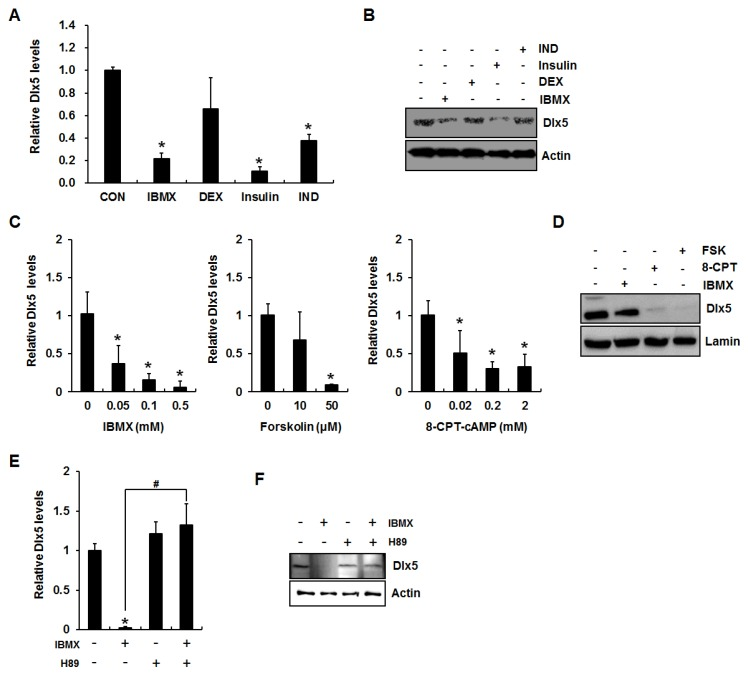 Activation of cAMP/PKA (protein kinase A) signaling inhibits distal-less homeobox 5 (Dlx5) expression in 3T3-L1 preadipocytes. ( A ) PKA activation suppresses Dlx5 expression during adipogenesis. Two-day post confluent 3T3-L1 cells were incubated in Dulbecco's modified Eagle's medium (DMEM) supplemented with 10% fetal bovine serum (FBS) with indicated concentration of 0.5 mM 3-isobutyl-1-methylxanthine (IBMX), 0.1 µM dexamethasone (DEX), 10 µg/mL insulin, and 50 µM indomethacin (IND) for 24 h, and Dlx5 mRNA levels were determined by quantitative RT-PCR. ( B ) Dlx5 protein level was determined by Western blot. ( C ) Dlx5 mRNA level was determined in the cells treated with various concentrations of IBMX, forskolin, or 8-CPT-cAMP for 24 h. ( D ) Dlx5 protein level after 24 h treatment with 0.5 mM IBMX, 2 mM 8-CPT-cAMP (8-CPT), or 50 µM forskolin (FSK) was determined by Western blot. In IBMX-induced adipogenesis, inhibition of PKA activation by 50 µM H89 completely rescued Dlx5 mRNA expression ( E ) and protein ( F ) levels. Data represent the mean ± SD (standard deviation) (* p