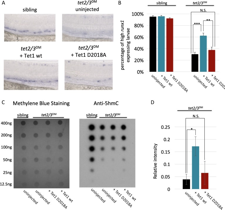 The TET1-OGT interaction promotes TET1 function in the zebrafish embryo. ( A ) Representative images of runx1 labeling in the dorsal aorta of wild type or tet2/3 DM zebrafish embryos, uninjected or injected with mRNA encoding mouse Tet1 wild type or D2018A. ( B ) Percentage of embryos with high runx1 expression along the dorsal aorta. ( C ) 5hmC dot blot of genomic DNA from wild type or tet2/3 DM zebrafish embryos injected with Tet1 wild type or D2018A mRNA. Methylene blue was used as a loading control. ( D ) Quantification of 5hmC levels from three dot blots, normalized to methylene blue staining. Error bars denote s.d. *p