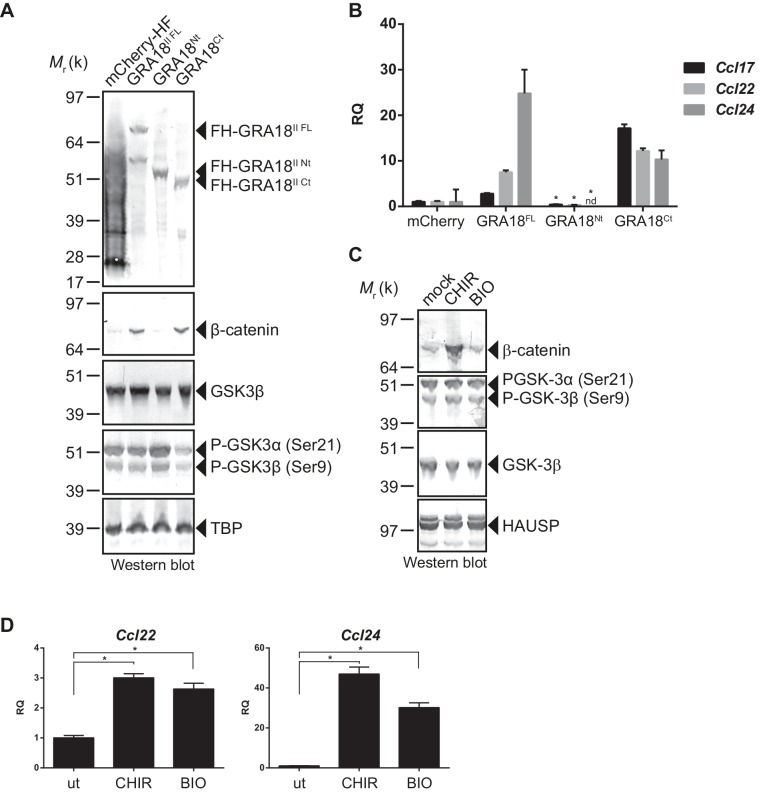 GRA18 activity is dependent on its interactions with GSK3 and PP2A-B56. ( A–B ) RAW264.7 cells were transfected with mCherry vector control or the FH-GRA18 expression vectors pcDNA-FH-GRA18 FL (GRA18 FL ), pcDNA-FH-GRA18 Nt (GRA18 Nt ), and pcDNA-FH-GRA18 Ct (GRA18 Ct ). At 18 hr after transfection, cells were harvested and ( A ) whole cell extracts were analyzed by immunoblot using the indicated antibodies, or ( B ) quantitative chemokine expression was determined by qRT-PCR as in Figure 6 . Asterisks indicate P -values (p