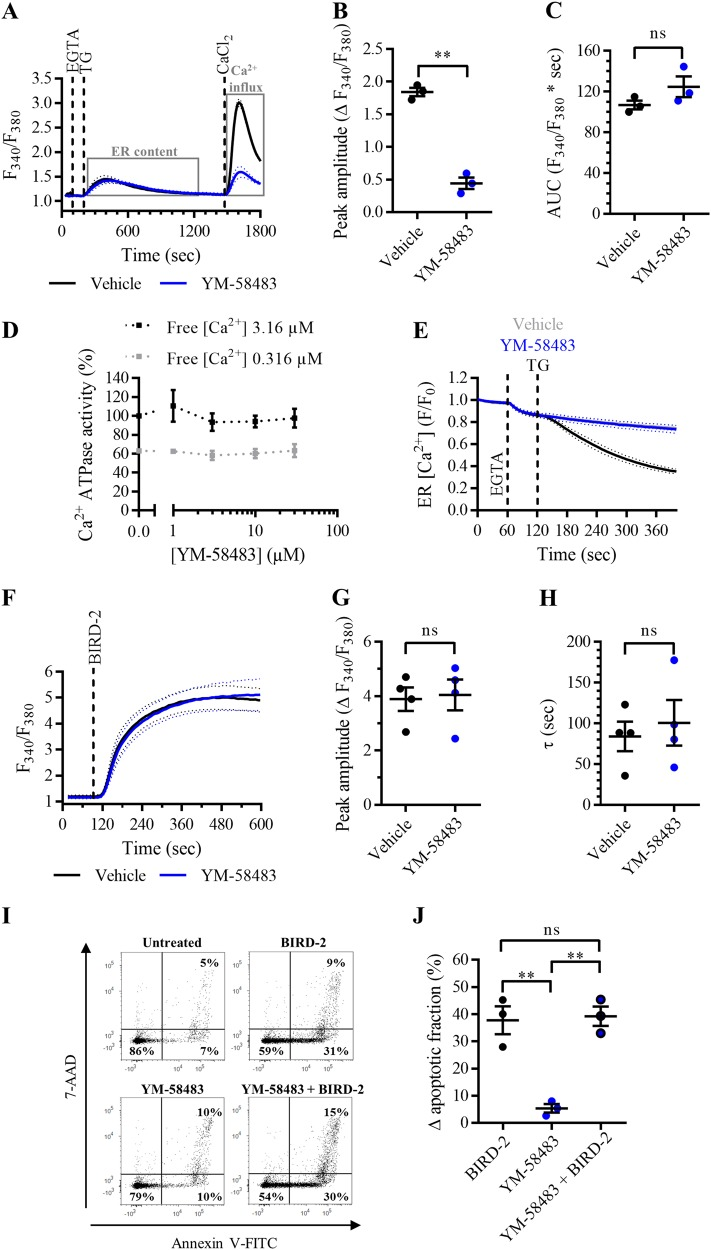 SOCE inhibition with YM-58483 does not reduce cell death triggered by BIRD-2 in SU-DHL-4 cells. a Analysis of Ca 2+ influx after store depletion in SU-DHL-4 cells using the ratiometric Ca 2+ indicator Fura-2 AM. Cells were pre-treated for 30 min with vehicle (black line) or with 3 µM YM-58483 (blue line). To deplete the ER Ca 2+ store, 3 mM EGTA and 1 µM TG were added as indicated. After store depletion, Ca 2+ influx was triggered by adding 10 mM CaCl 2 . The curves represent the mean ± SEM of three independent experiments. Quantification of the Ca 2+ influx is provided as the peak amplitude (∆ F 340 / F 380 ) in b , whereas the TG-releasable Ca 2+ is quantified as the AUC ( F 340 / F 380 × s) in c . d Dose–response curve of YM-58483 on SERCA2b ATPase activity (%). The Ca 2+ -dependent ATPase activity was measured at maximal (free [Ca 2+ ] 3.16 µM) and submaximal (free [Ca 2+ ] 0.316 µM) [Ca 2+ ] for different treatments, including vehicle (control) and different [YM-58483]. Data were normalized to the values obtained in the control condition at maximal [Ca 2+ ], which was set at 100%. Data are represented at the mean ± SEM of three independent experiments. e Single-cell analysis of the ER Ca 2+ levels in HeLa cells transfected with G-CEPIA1 er plasmid. Cells were treated with vehicle (gray curve), 1 µM TG (black curve), or 3 µM YM-58483 (blue curve) 60 s after the addition of 3 mM EGTA. Data are represented as the mean ± SEM of three independent experiments ( n > 100 cells/condition). f Analysis of the cytosolic Ca 2+ response in SU-DHL-4 cells using Fura-2 AM. Cells were pre-treated for 30 min with vehicle (black line) or 3 µM YM-58483 (blue line). Addition of 10 µM BIRD-2 is indicated by the dotted line. The curves represent the mean ± SEM of four independent experiments. The BIRD-2-provoked cytosolic Ca 2+ rise is quantified by measuring the peak amplitude (∆ F 340 / F 380 ), shown in g , and the time constant τ (s), which is shown in h . i Representative scatte