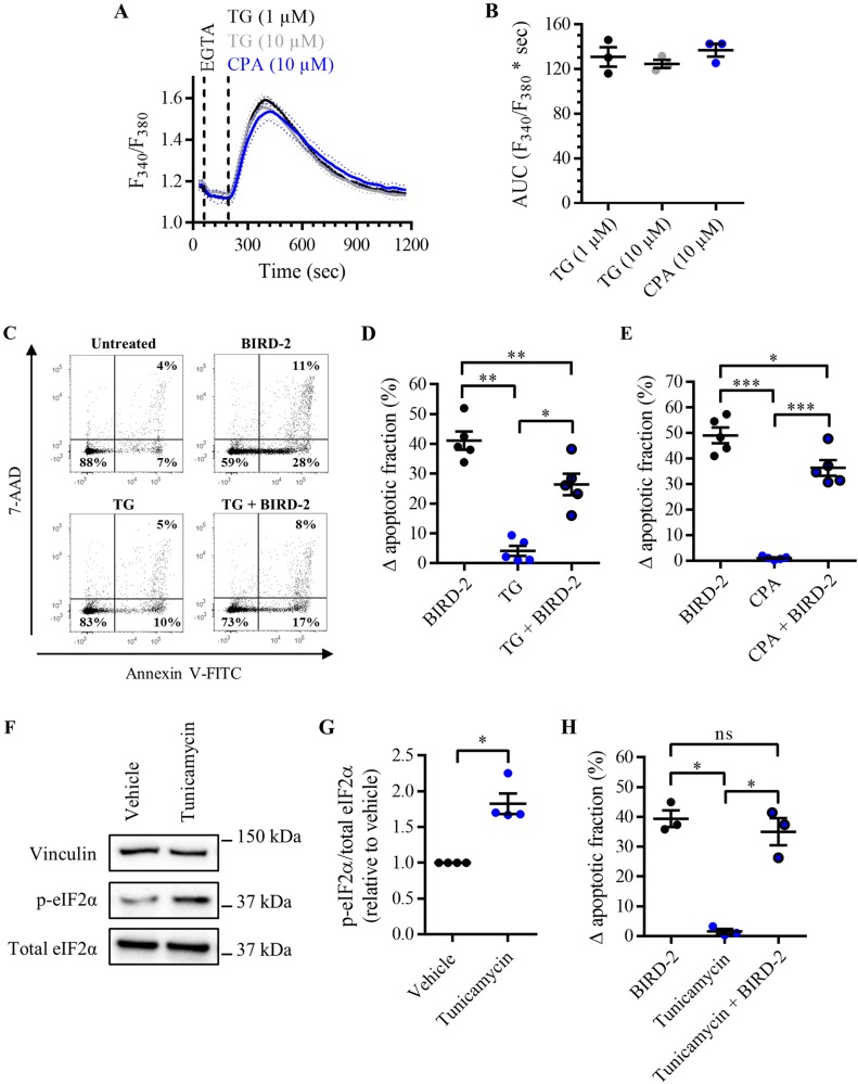 BIRD-2-triggered apoptosis is reduced by depleting the ER Ca 2+ store in SU-DHL-4 cells. a Analysis of the cytosolic Ca 2+ response in SU-DHL-4 cells using Fura-2 AM. After the addition of 3 mM EGTA, 1 or 10 µM TG or 10 µM CPA were added to deplete the ER Ca 2+ store. The curves represent the mean ± SEM of three independent experiments. The TG/CPA-releasable Ca 2+ is quantified by measuring the AUC ( F 340 / F 380 × s), which is shown in b . c Representative scatter plots from flow cytometry analysis detecting apoptosis in SU-DHL-4 cells stained with Annexin V-FITC and 7-AAD. Cells were pre-treated with or without 1 µM TG 30 min prior to application of 10 µM BIRD-2. After 2 h of BIRD-2 treatment, apoptotic cell death was detected by measuring the Annexin V-FITC-positive fraction. d Quantitative analysis of five independent experiments detecting apoptosis in SU-DHL-4 cells treated for 2 h with 10 µM BIRD-2, with or without a pre-treatment of 30 min with 1 µM TG. e Quantitative analysis of five independent experiments detecting apoptosis in SU-DHL-4 cells treated for 2 h with 10 µM BIRD-2, with or without a pre-treatment of 30 min with 10 µM CPA. f A representative western blot of four independent experiments showing the expression levels of total eIF2α and p-eIF2α in SU-DHL-4 cells treated for 4 h with 5µg/ml tunicamycin. The expression level of vinculin was used as a loading control. g Quantification of the p-eIF2α/total eIF2α-protein levels in SU-DHL-4 relative to vehicle-treated cells, which was set at 1. h Quantitative analysis of three independent experiments detecting apoptosis in SU-DHL-4 cells treated for 2 h with 10 µM BIRD-2, with or without a pre-treatment of 4 h with 5µg/ml tunicamycin. In d , e , and h the ∆ apoptotic fraction is plotted, which corresponds to the apoptotic fraction corrected for the percentage of apoptosis detected in untreated cells. In the dot plots, data are represented as the mean ± SEM of at least three independent experiments. Stat