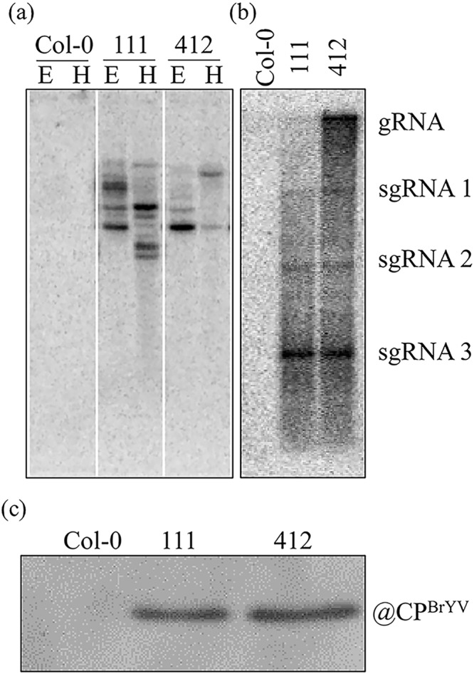 Characterization of BrYV amplicon-transformed Arabidopsis. ( a ) Southern blot analysis indicating that the cDNA of BrYV was inserted into the Arabidopsis genome. The genomic DNA of transgenic Arabidopsis plants was digested with either Eco R I or Hin d III. (b) Northern blot results showing the constitutive expression of BrYV-encoded genomic RNA (gRNA) and subgenomic RNAs (sgRNAs). (c) Western blot analysis demonstrating the expression of the BrYV coat protein in lines 111 and 412.