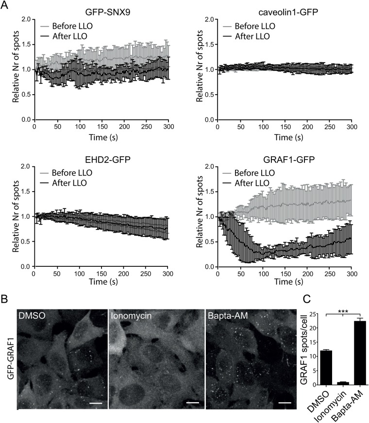 Pore formation by LLO represses GRAF1 assembly but does not influence the number of caveolin1- or SNX9-positive structures. (A) Graphs showing the number of endocytic spots detected by live-cell TIRF microscopy of HeLa Flp-In TRex cells expressing different endocytic proteins treated with LLO. The number of endocytic structures present in the TIRF field was quantified every 3 s for 5 min before and after LLO addition and plotted as the relative number of spots where the first frame of respective movie was set as 1. Error bars represent the s.d. Only movies with cells showing ANXA6-mCherry recruitment to the plasma membrane after addition of LLO were quantified. Time 0 s represent the acquisition start time in all subfigures. The data represent quantifications derived from several cells and independent movies from three independent experiments n =3 except for GRAF1, where n =1 on 7 cells. (B) Representative micrographs of maximum-projected confocal z-stacks showing fixed Flp-In TRex cells expressing GFP-GRAF1. Vehicle DMSO (control), 10 μM Ionomycin and 50 μM Bapta-AM was added to the cells for 30 min followed fixation and imaging, respectively, as indicated. Scale bars 10 μm. (C) Bar plot of the number of GFP-GRAF1 structures quantified after 30 min of drug treatment. P -values from one-way ANOVA: control versus Ionomycin P