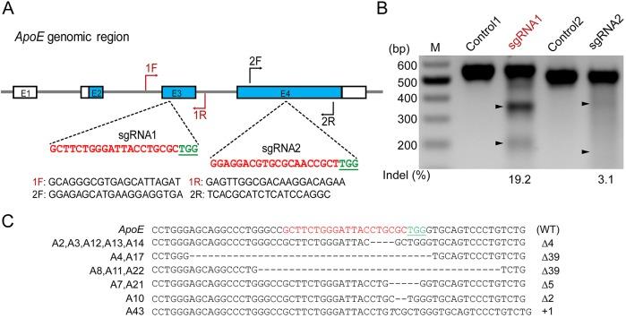 CRISPR/Cas9 mediates ApoE gene targeting in PFFs. (A) Schematic diagram of Cas9 -sgRNA targeting sites of the pig ApoE locus. The sgRNA targeting sequences are shown in red, and the protospacer-adjacent motif (PAM) sequences are shown in green and underlined. (B) T7E1 assay for Cas9-mediated cleavage at ApoE targeting sites in PFFs. M: DNA marker; Controls: PCR products of untransfected PFFs treated with T7E1; sgRNA1 and sgRNA2: PCR products of PFFs transfected with Cas9-sgRNA1 and Cas9-sgRNA2 treated with T7E1, respectively. (C) Genotypes of homozygous ApoE biallelic-modified colonies. The WT sequence is shown at the top. Deletion (Δ); insertion (+); italic letter denotes the inserted base pair.