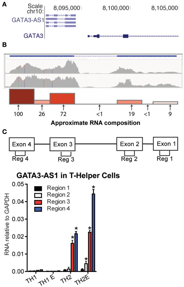 GATA3-AS1 is expressed in TH2 cells. (A) Genomic locations of human GATA3-AS1 known isoforms and GATA3 with directions of transcription in sense ( > ) and antisense orientations (