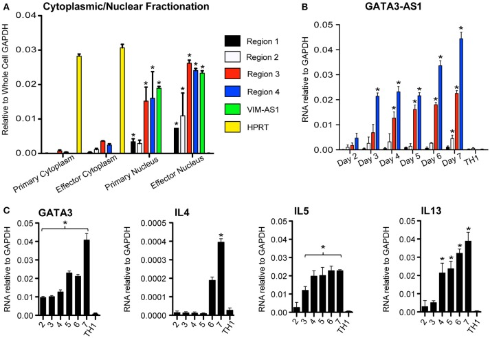 GATA3-AS1 is localized in the nucleus and expression increases during TH2 cell polarization . (A) Cellular and nuclear fractions of primary and effector TH2 populations analyzed via qPCR. Values represent ΔΔCT vs. whole cell GAPDH. VIM-AS1 lncRNA is a nuclear control, while HPRT mRNA represents a cytoplasm specific control. Statistical significance vs. relative cytoplasmic fraction was determined by Students T-test ( n = 3). * P