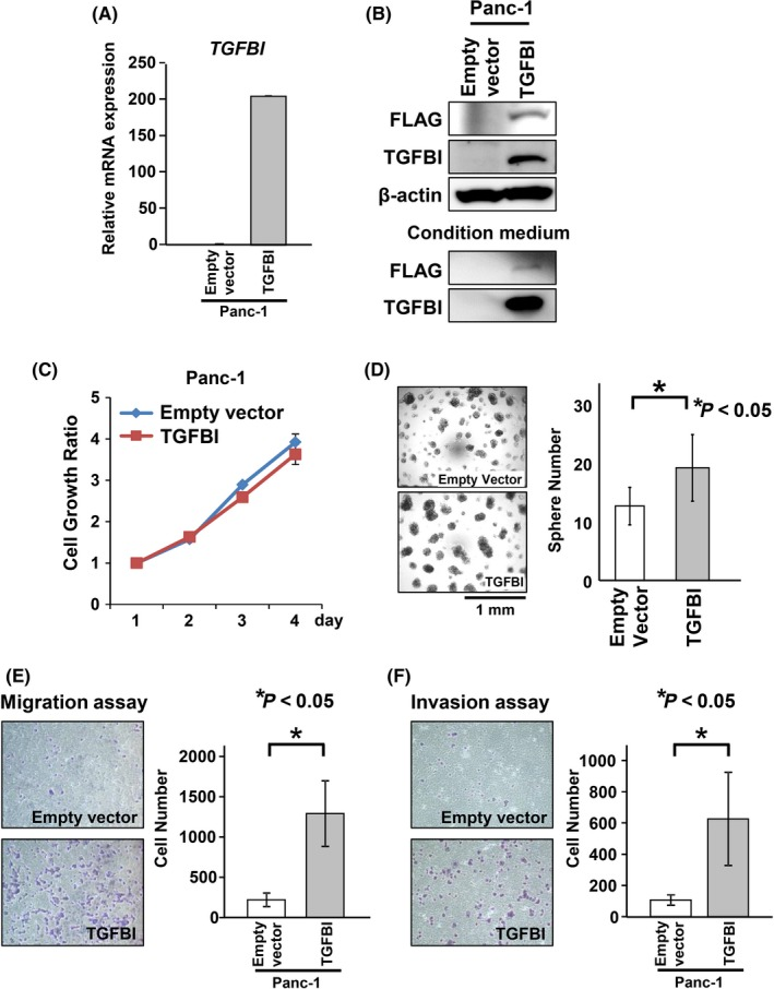 Overexpression of transforming growth factor beta‐induced ( TGFBI ) increased the migration and invasion abilities of Panc‐1‐parent (Panc‐1‐P) cells. A,B, Overexpression of TGFBI in Panc‐1‐P cells stably transfected with pCMV3Tag3A‐TGFBI expression vector as confirmed by qRT‐PCR (A) and western blotting (B). Protein expression of exogenous TGFBI was confirmed with anti‐FLAG antibody. C, Number of viable cells 24‐96 h in Panc‐1‐P cells transduced with empty vector and TGFBI was determined by WST‐8 assay at the indicated times. Results of the relative growth ratios are shown with mean ± SD for three separate experiments, each carried out in triplicate. Differences were analyzed by one‐way ANOVA. D, Number of tumorsphere formations was counted if the length was over 200 μm. Data are presented as mean ± SD of samples (n = 4). Differences were analyzed by t test. E,F, Number of migratory (E) and invasive cells (F) through the Boyden chamber at 24 h after replating was counted using Diff‐Quick Stain. Data are presented as mean ± SD of samples (n = 3). Differences were analyzed by the Mann‐Whitney U test