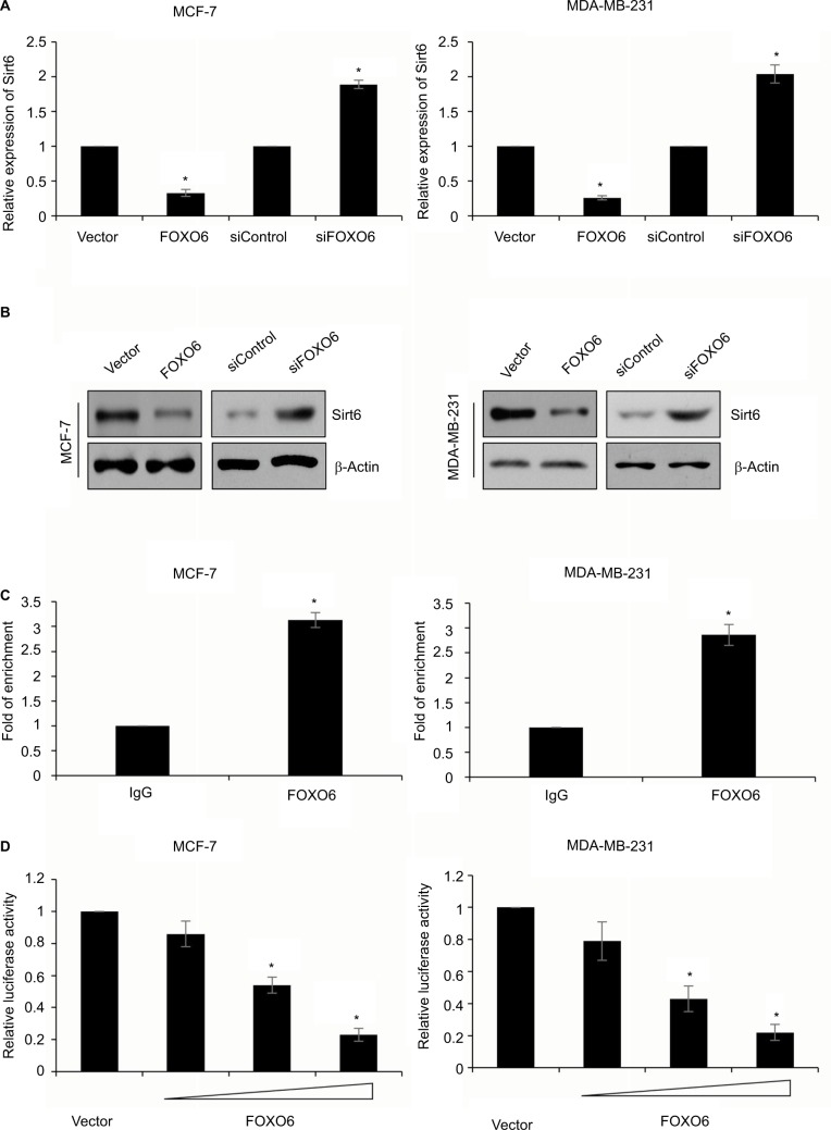 Sirt6 is a direct transcriptional target of FOXO6. Notes: ( A ) FOXO6 was overexpressed or knocked down in MCF-7 and MDA-MB-231 cells. The mRNA level of Sirt6 was assessed by qRT-PCR assay. FOXO6 vs vector, siFOXO6 vs siControl, * p