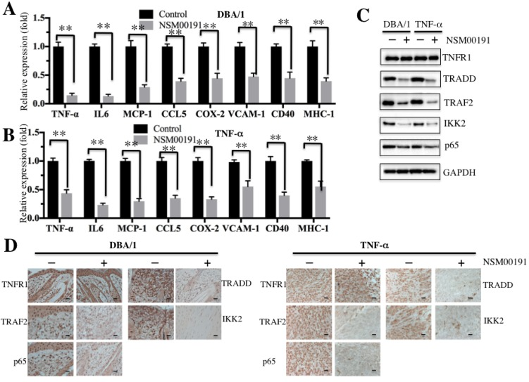 NSM00191 significantly improved the inflammatory response in vivo . (A-B) NSM00191 significantly inhibited the expression of NF-κB downstream targets. The DBA/1 mice ( A , n=12) and TNF-α-overexpressing mice ( B , n=12) were divided into two groups. One group of mice was treated with DMSO; the other group mice were treated with 20 μM NSM00191 for 7 days. Then, the joint tissues were collected, and their RNAs were isolated. The RNAs from each treatment mice were equally combined and subjected into qRT-PCR analyses to examine the expression of TNF-α, IL-6, MCP-1, CCL5, COX-2, VCAM-1, CD40 and MHC-1. (C) NSM00191 inhibited the interaction between TRADD and TRAF2 in vivo . The joint samples used in A and B were subjected to Western blot analysis to determine the protein levels of TNFR1, TRADD, TRAF2, IKK2 and p65. GAPDH was used as a loading control. (D) NSM00191 decreased the p65 levels in vivo. One pair of joint samples used in A and B were subjected to IHC staining to determine the protein levels of TNFR1, TRADD, TRAF2, IKK and p65.