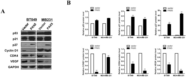 PAX5 involved in the regulation of cell cycle pathway and VEGF expression. (A) Western-blot is performed to test the effect of PAX5 on cell cycle pathway and the expression of VEGF. (B) It is shown that PAX5 increases the expression of p53, p21, p27 and decreases the expression of cyclin D1, CDK4, VEGF in breast cancer cells (BT549 and MB231). The values are exhibited as the mean ± SD from three independent experiments (**, p