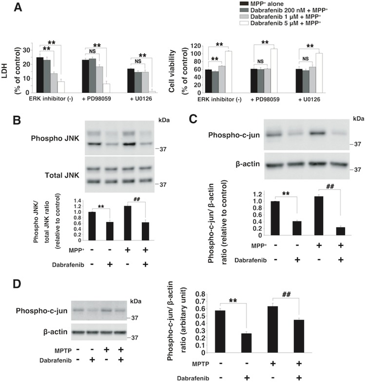 Dabrafenib reduced the expression of phosphorylated JNK and c-jun in both SH-SY5Y cells and mice ( A ) LDH/cell viability assay under the condition of ERK inhibitor. Neuroprotective effects of dabrafenib (5 μM) were not dependent on the downregulation of activated ERK expression by <t>PD98059</t> (30 μM) or U0126 (3 μM). Neuroprotective effects were assessed by the LDH and cell viability assay in SH-SY5Y cells at 24 h after MPP + (3 mM) exposure. ** , P -value