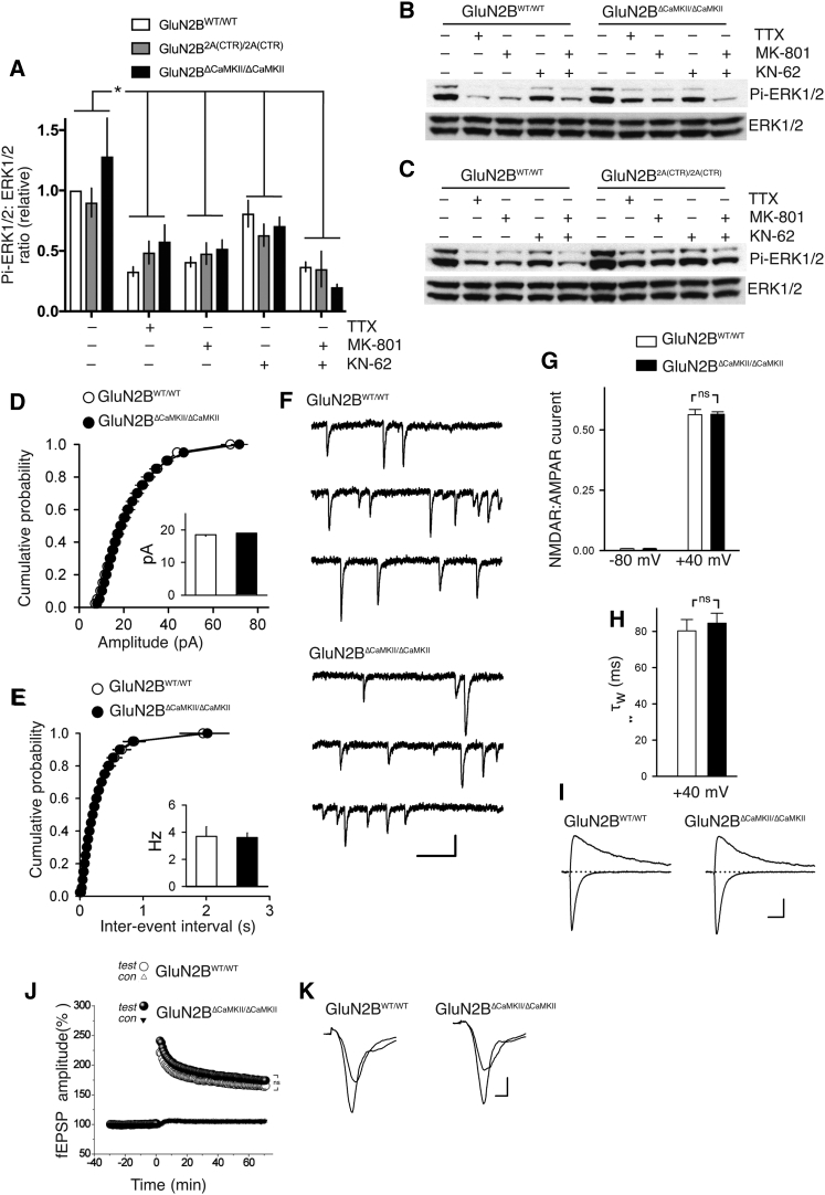 The GluN2B CaMKII Binding Site Is Dispensable for Theta Burst LTP (A–C) Activity-dependent signaling to ERK1/2 does not require GluN2B CTD-specific sequences. DIV9 cortical neurons of the indicated genotypes were treated with TTX (500 nM), KN-62 (10 μM), or MK-801 (10 μM) for 1 hr, after which protein extracts were made and subjected to western blot analysis for phospho-ERK1/2 levels, normalized to total ERK1/2. (A) shows quantitation and (B) and (C) show example blots. ∗ p