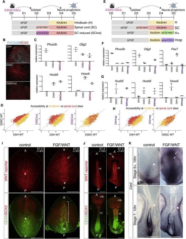 CDX2 Can Replace WNT and Prolong Spinal Cord Competency (A) Schematic of the differentiation using iCDX2 ESCs ( Niwa et al., 2005 ) to induce CDX2 between D2 and D3 (SCind). (B) Immunofluorescence of NPs at D5 PHOX2B (cyan) and SOX2 (red). Cranial MNs in hindbrain, but not spinal cord or SCind. (C) qRT-PCR analysis at D5 shows that the induction of CDX2 between D2 and D3 maintains Olig2 expression and upregulates Hoxb9 and Hoxc6 . Error bars represent the standard deviation. (D) Chromatin accessibility, measured by ATAC-seq, at hindbrain (yellow) and spinal cord (red) sites at D5. Spinal cord sites are more open in WT spinal cord cells than WT hindbrain cells (left plot). The induction of CDX2 between D2 and D3 (D5SCind) increases accessibility at spinal cord sites versus D5H WT cells (middle plot) and similar levels of accessibility in hindbrain and spinal cord sites when compared to D5SC WT cells (right plot). (E) Schematic of the differentiation using iCDX2 ESCs to induce CDX2 between D4 and D5 under hindbrain conditions (Hrep) versus hindbrain+ (H+) conditions, in which WNT signaling is activated between D4 and D5. (F and G) qRT-PCR data indicate that, by D5, the induction of CDX2 is sufficient to repress Phox2b but maintain Olig2 (F), in contrast to H + cells, which repress Olig2 expression ( Figure 3 ). The induction of CDX2 between D4 and D5 upregulates posterior Hox genes Hoxb9 , Hoxb8 , and Hoxc6 (G). Error bars represent the standard deviation. (H) Accessibility at hindbrain (yellow) and spinal cord (red) sites reveals that D5Hrep cells display increased accessibility at spinal cord sites and loss of hindbrain sites compared to D5H cells. (I and J) WNT reporter embryos cultured for 14 hr in control versus WNT signaling conditions ( Table S3 ) from E7.0 (I) or E7.5 (J). Images show embryos cultured in media containing bFGF (control) versus FGF and CHIR99021 (FGF/WNT) conditions. Embryos are oriented with anterior at the top of the image. Dashed white lines 