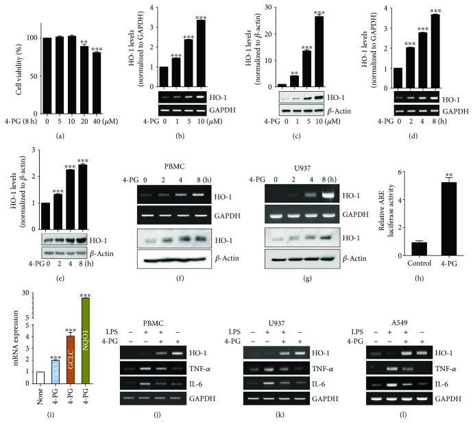 4-PG induces HO-1 mRNA and protein expression in macrophages and lung epithelial cells. (a) RAW 264.7 cells were treated with 4-PG at various concentrations (0, 5, 10, 20, and 40 μ M) for 8 h, and cell viability was determined by MTT assay. To evaluate the beneficial effect of 4-PG on HO-1 induction, cells were treated with 4-PG (0, 1, 5, and 10 μ M) at the indicated concentrations for 8 h. The mRNA and protein levels of HO-1 were measured by RT-PCR (b) and Western blotting (c). RAW 264.7 cells were treated with 4-PG (10 μ M) at the indicated time points (0, 2, 4, and 8 h). The mRNA and protein levels of HO-1 were determined by RT-PCR (d) and Western blotting (e). (f and g) PBMC and U937 cells were treated with 4-PG at the indicated concentrations (0, 1, 5, and 10 μ M) for 8 h. The mRNA and protein levels of HO-1 were determined by RT-PCR (top) and Western blotting (bottom). GAPDH and β -actin were used as internal controls. (h) RAW 264.7 cells were cotransduced with a pCignal Lenti-ARE reporter and pCignal Lenti-TK-Renilla. After treatment with 4-PG, luciferase activity was analyzed. The expression levels obtained from pCignal Lenti-ARE reporter-transduced cells without 4-PG treatment were normalized to 1. (i) RAW 264.7 cells were treated with 4-PG (10 μ M) for 8 h. Several antioxidative genes including TRX1, GCLC, and NQO1 were measured by RT-qPCR. (j and k) PBMC and U937 cells were pretreated with 4-PG (10 μ M) for 6 h followed by the stimulation of LPS (100 ng/ml) for another 4 h. (l) A549 cells pretreated with 4-PG (10 μ M) for 4 h and then stimulated with LPS (10 μ g/ml) for 6 h. The mRNA levels of HO-1, TNF- α , and IL-6 were determined by RT-PCR. Data were expressed as mean ± SD ( n = 5 determined in five independent experiments). One-way ANOVA with Turkey post hoc tests were performed; ∗ p