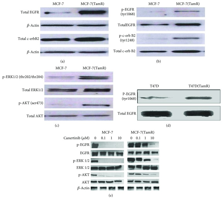 Measuring of EGFR and c-erbB2 expression; activation of ERK1/2 and AKT in MCF-7, T47D, and their tamoxifen-resistant derivative cells MCF-7(TamR) and T47D (TamR) cells, respectively. (a) Changes in levels of total EGFR and c-erbB2 expression by Western blot. (b) Changes in levels of p-EGFR and p-c-erbB2 expression by Western blot. (c) Changes in levels of expression and activation of ERK1/2 and AKT by Western blot. (d) Changes in levels of EGFR expression and activation in t47d cells before and after the development of tamoxifen resistance by Western blot. (e) The inhibitory effects of canertinib on the activation of EGFR, Akt, and ERK1/2 and their encoded protein in both MCF-7 and MCF-7(TamR) cells by Western blot.