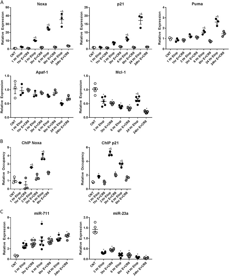 CR8 attenuates activation of the p53-linked pro-apoptotic pathways following etoposide-induced DNA damage at the mRNA level. Neurons were treated with 50 μm of etoposide ± 1 μm CR8. Neurons were collected 24 h after treatment. qPCR quantification of expression of a Noxa, p21, Puma, Apaf-1, and Mcl-1; b promotor region of Noxa and p21; c miR-711 and miR-23a in primary cortical neurons at different time points after treatment. Results of qPCR were normalized to a GAPDH expression; b input DNA; and c U6 snRNA. CR8 attenuates relative expression of PUMA, NOXA, and p21 following 50 μm etoposide treatment ( a ). No change in Apaf-1 relative to controls was observed until 24 h ( a ). Etoposide induced increases in occupancy of p53 in the promoter region of Noxa, and p21 was attenuated by etoposide + CR8 ( b ). n = 3/group for all groups. Etoposide and etoposide + CR8 increased expression of miR-711 and decreased miR-23a compared to control neurons ( c ). n = 6/group for all groups. Data represent mean ± SEM of one-way ANOVA and Tukey post hoc analysis, * p