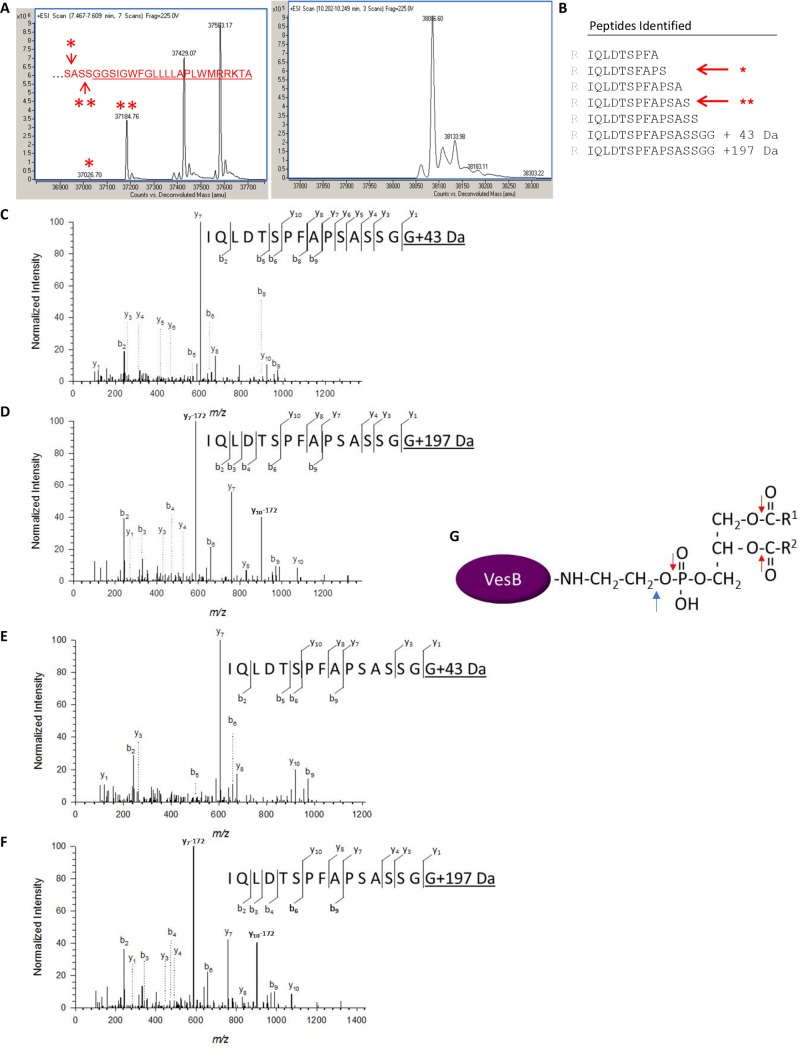 C-terminal modification of VesB. VesB was overexpressed and purified from supernatants of LB-grown V . cholerae culture in the presence of protease inhibitors at 4° C. The purified material was subjected to intact mass analysis (A) and SDS-PAGE, in-gel trypsin digestion and LC-MS/MS analysis (B-D). A. Left panel: Deconvoluted ESI mass spectrum indicates four molecular masses of VesB. The masses highlighted with asterisks correspond to theoretical VesB masses generated through cleavage at either Ser 378 ( * ) or Ser 380 ( ** ) (see inset with C-terminal sequence of VesB). The relative amount of the four VesB species varied between three separate purifications. Accuracy of the instrument: 0.01% of molecular mass. Right panel: The deconvoluted mass spectrum of protein eluting at a higher acetonitrile concentration. B. C-terminal peptides of VesB generated by trypsin and identified by LC-MS/MS analysis. The asterisks correspond to cleavage at Ser 378 ( * ) and Ser 380 ( ** ). C. Representative MS/MS spectrum for the C-terminal peptide IQLDTSPFAPSASSGG of VesB shows modification of the C-terminal glycine with a 43 Da moiety as evidenced by the presence of the y1–ion and indicated subsequent y-ions. D. MS/MS spectrum for the VesB peptide IQLDTSPFAPSASSGG with a C-terminal 197 Da moiety as evidenced by the presence of the y1–ion and indicated subsequent y-ions as well as the two fragment-ions y 7 -172 at m/z 587.3 and y 10 -172 at m/z 904.2 generated by neutral loss of the phosphoglyceryl moiety (C 3 H 9 O 6 P, 172.013 Da). E. VesB was extracted from WT V . cholerae with Triton X-100, purified on benzamidine sepharose and subjected to SDS-PAGE, in-gel trypsin digestion and LC -MS/MS analysis. Representative MS/MS spectrum of the C-terminal peptide IQLDTSPFAPSASSGG of VesB shows modification of the C-terminal glycine with a 43 Da moiety as evidenced by the presence of the y1–ion and indicated subsequent y-ions. F. MS/MS spectrum of the 197-Da modified peptide IQLDTSPFAPSASS