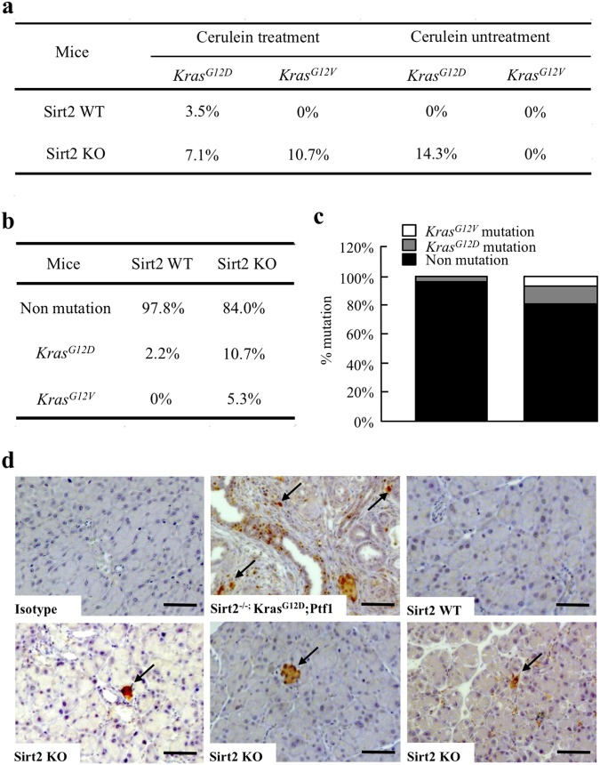 Accumulation of spontaneous tumorigenic Kras mutations in Sirt2 -deficient mice. (a) Accumulation of tumorigenic Kras mutations during inflammation-coupled neoplasm. Mouse pancreas genomic DNA from wild-type and Sirt2 KO, with and without caerulein-treatment, were analyzed for Kras G12D or Kras G12V mutations by competitive allele-specific TaqMan PCR. The table shows the summary of analysis for percentage of mice positive for mutations (46 wild-type mice, 56 Sirt2 KO mice) after pancreatitis. (b) Detail description of wild-type and Sirt2 KO mice with Kras G12D and Kras G12V mutations. (c) Bar graph representation of ( b ). ( d ) Immunostaining detection of KRAS-G12D mutant protein in mouse pancreas. Mice pancreas tissues were fixed, embedded in paraffin, and immuno-histochemical staining with anti- KRAS-G12D antibody was performed. Representative images are shown. Bars indicate 100 µm.