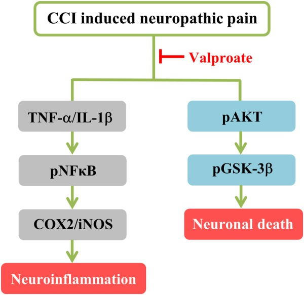 Scheme summarizing the proposed mechanism by which VPA decreases NFκB/COX2/iNOS-mediated neuroinflammation and pAKT/pGSK-3β-mediated neuroapoptosis in a rat model of CCI.
