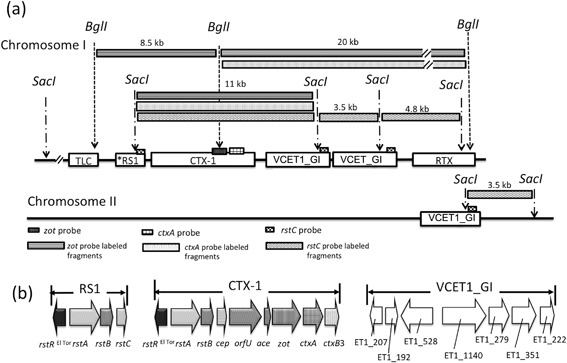 """Estimated CTX prophage region structure of Vibrio cholerae strain 341, the representative of group ET‐1. Six V. cholerae wave 1 strains revealed similar profiles of CTX prophage region‐specific RFLP and PCR, and were categorized into a group designated as ET‐1. (a) The strain 341 was chosen as a representative and sequenced. The best estimated model, """"TLC–*RS1–CTX‐1–VCET1_GI–VCET1_GI–RTX"""" for chromosome I and """"VCET1_GI"""" for chromosome II, is shown. The sites to which each of zot , ctxA and rstC probes bind and produced fragments in the RFLP analysis are shown in the figure. (b) Estimated structure of a novel genomic island VCET1_GI. Structures of satellite phage RS1 and CTX‐1 are shown in references. TLC, toxin‐linked cryptic gene cluster; CTX‐1, CTX prophage harboring rstR El Tor and ctxB3 ; *RS1, RS1 which harbors five nucleotide substitutions in rstA compared with that of N16961."""