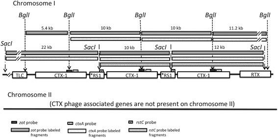 """Estimated CTX prophage region structure of V. cholerae strain C1, the representative of group ET‐3. Profiles of CTX prophage region‐specific RFLP and PCR of strain C1 are unique and it was categorized as an independent group, ET‐3. The best estimated model for CTX prophage region is """"TLC–CTX‐1–*RS1–CTX‐1–*RS1–CTX‐1–RTX"""" for chromosome I; no CTX prophage‐associated genes are present on chromosome II."""