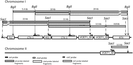 """Estimated CTX prophage region structure of V. cholerae strain C2, the representative of group ET‐4. Profiles of CTX prophage region‐specific RFLP and PCR of strain C2 are unique and it was categorized as an independent group, ET‐4. The best estimated model for CTX prophage region of strain C2 is """"TLC–CTX‐1–RS1–CTX‐1–VCET1_GI–VCET1_GI–RTX"""" on chromosome I and a single """"VCET1_GI"""" on chromosome II."""