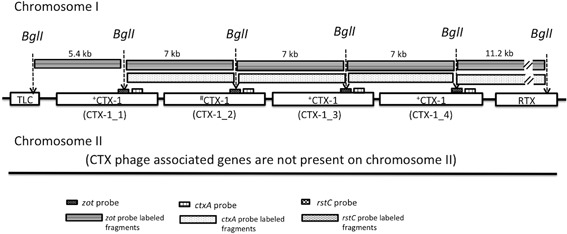 """Estimated CTX prophage region structure of V. cholerae strain C7, the representative of group ET‐6. Profiles of CTX prophage region‐specific RFLP and PCR of strain C7 are unique and it was categorized as an independent group, ET‐6. The best estimated model for CTX prophage region of strain C7 is """"TLC– + CTX‐1– # CTX‐1– + CTX‐1– + CTX‐1–RTX"""" on chromosome I; no CTX prophage‐associated genes are present on chromosome II. + CTX‐1, CTX‐1 harboring SNPs in rstA (G301A), rstB (T84C), and in ctxA (G622A); # CTX‐1, CTX‐1 harboring SNPs in rstB (T84C) and in ctxA (G622A)."""