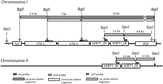 """Estimated CTX prophage region structure of V. cholerae strain P16, the representative of group ET‐7. Two V. cholerae wave 1 strains revealed similar profiles of CTX prophage region‐specific RFLP and PCR, and were categorized into a group designated as ET‐7. The strain P16 was chosen as a representative and sequenced. The best estimated model for CTX prophage region of strain P16 is """"TLC–CTX‐1–CTX‐1–VCET1_GI–VCET1_GI–RTX"""" on chromosome I and """"VCET1_GI–VCET1_GI"""" on chromosome II."""