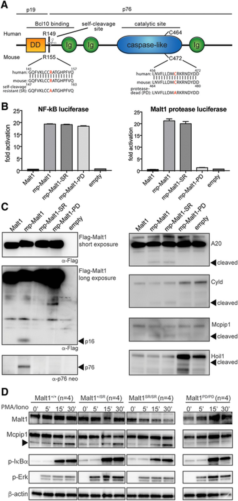 Malt1 R155A knock‐in mice express a catalytically active form of Malt1 but lack self‐cleavage activity (A) Schematic representation of Malt1 protein and its functional death domain (DD), immunoglobulin‐like domains (Ig), auto processing site and catalytic site. (B) MALT1 protease reporter assays of 293T‐BM cells transiently expressing a mouse wild‐type Malt1 (mp‐Malt1), the self‐cleavage resistant R155A mutant (mp‐Malt1‐SR), the protease‐death C472A mutant (mp‐Malt1‐PD) or empty vector (mock). Malt1 protease‐dependent luciferase activity is shown as fold induction of vector‐transfected cells. The data are shown as mean +SD of four pooled independent experiments, which were each performed in triplicates. ( C ) Cell lysates were immunoblotted with the indicated antibodies to detect MALT1, its N‐ and C‐terminal auto‐cleavage fragments (p16 and p76 respectively) and its proteolytic targets. Arrows indicate the cleavage fragments generated by Malt1 protease activity. (D) Immunoblot analysis of spleen of Malt1 +/+ , Malt1 +/SR , Malt1 SR/SR and Malt1 PD/PD mice. Splenocytes from 4 mice were combined and then incubated with or without PMA and ionomycin for the indicated times. A non‐specific band generated with the Mcpip1 antibody was used a loading control. Data are representative of three independent experiments.