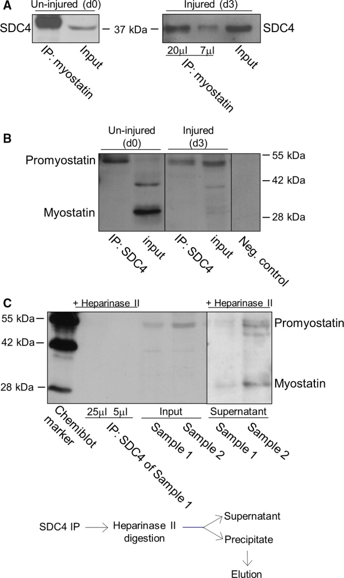 Characterization of SDC 4–promyostatin interaction. (A) Co‐immunoprecipitations (co‐ IP s) were carried out with rabbit antiserum to the C‐terminal part of myostatin ( AB 3239) in un‐injured (control, day 0, d0) and injured (3 days after notexin injury, d3) soleus muscle homogenates. Different volumes (20 and 7 μL) of the eluted immunocomplex were loaded in case of the injured sample. The blots were reacted with antibodies to SDC 4 raised in goat. Myostatin co‐immunoprecipitated SDC 4 in both cases. Input lanes represent the total homogenates; 10% of the total protein amount used in co‐ IP was loaded. (B) Co‐ IP assays were performed with anti‐ SDC 4 antibodies, and the blots were reacted with anti‐myostatin antisera ( AB 3239). The negative control was incubated only with the secondary antibody. For the input lanes, 10% of the total protein amount used in co‐ IP was loaded. The additional band at ~ 42 kD a in d0 input can be a processing intermediate of promyostatin. (C) Heparan sulfate chains were digested in injured samples (d3; sample 1 and 2) with heparinase II enzyme following immunoprecipitation with goat anti‐ SDC 4 antibody. Different amounts (25 and 5 μL) of the eluted volume of the heparinase II digested immunoprecipitate of sample 1 were loaded. We could not detect promyostatin in the immunoprecipitate after heparinase digestion. For the input lanes, 7.5% of the total protein amount used in co‐ IP s were loaded. Note, that both promyostatin and mature myostatin were detected in the supernatant (digestion buffer) after heparinase digestion.